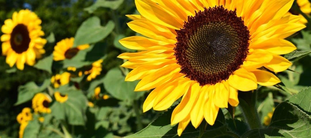 Olej słonecznikowy – właściwości zdrowotne, wartości odżywcze, zastosowanie