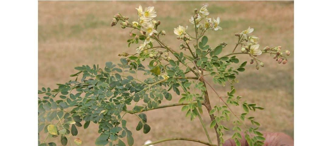 Moringa olejodajna – poznaj właściwości, wskazania i zastosowanie niezwykłej rośliny!