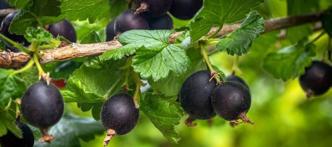 Czarna porzeczka – wartości odżywcze, właściwości zdrowotne, proste przepisy