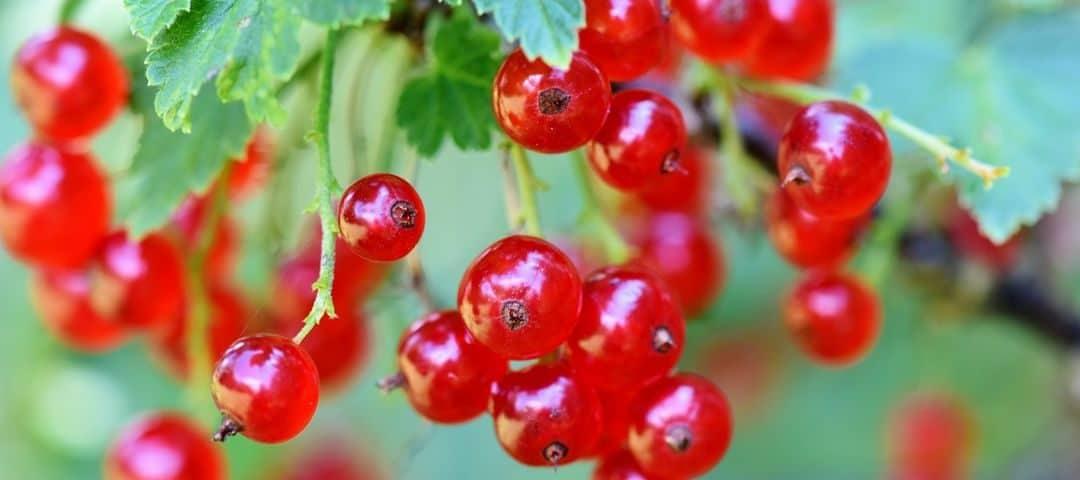 Czerwona porzeczka – właściwości zdrowotne, wartości odżywcze, proste przepisy