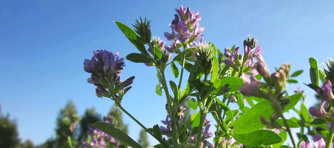 Alfalfa czyli lucerna siewna – jak przyczynia się Twojemu zdrowiu?
