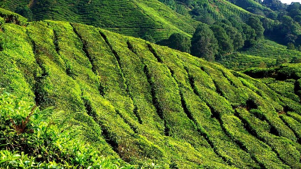 zielona herbata, właściwości zielonej herbaty,