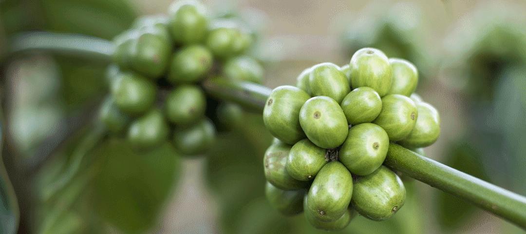 zielony jęczmień na osteoporozę